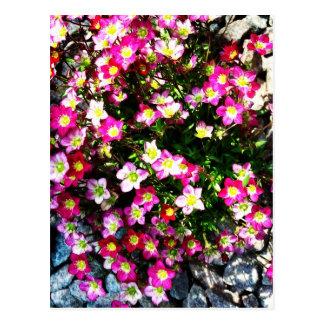 Saxifraga Highlander In Pink Postcard