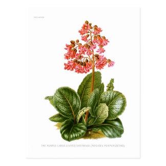 Saxifrage púrpura tarjeta postal