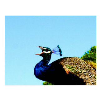 Say love to you pavo cristatus peacock postcards