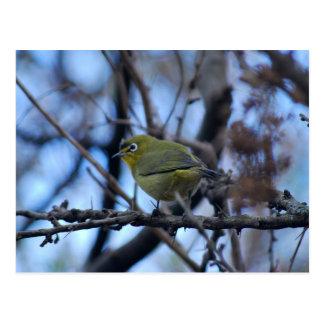 Say what little white eye bird postcard