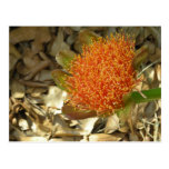 Scadoxus Blood Lily Postcards