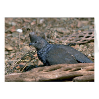 Scaled quail greeting card