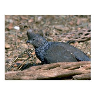 Scaled quail postcard