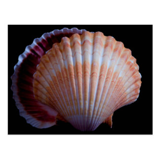 Scallop Shell Postcard
