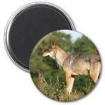 Scandinavian grey wolf refrigerator magnets