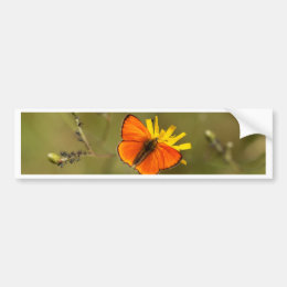 Scarce copper butterfly, Lycaena virgaureae Bumper Sticker