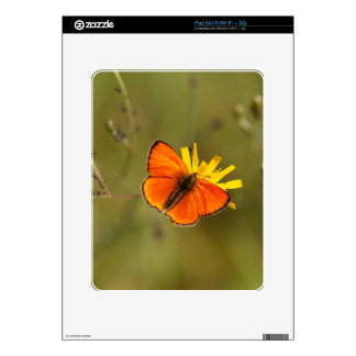Scarce copper butterfly, Lycaena virgaureae iPad Decal