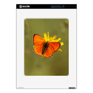Scarce copper butterfly, Lycaena virgaureae Skin For The iPad