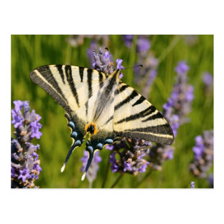 Scarce Swallowtail butterfly on lavender Postcard