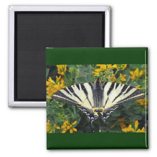 Scarce Swallowtail, Iphiclides Podalirius 2 Inch Square Magnet
