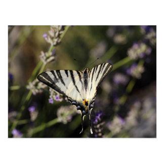 Scarce Swallowtail (Iphiclides podalirius) Postcard
