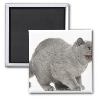 Scared British Shorthair hissing (8 months old) 2 Inch Square Magnet