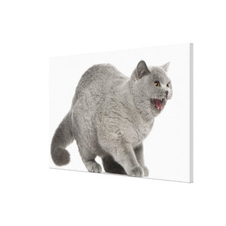Scared British Shorthair hissing (8 months old) Canvas Print