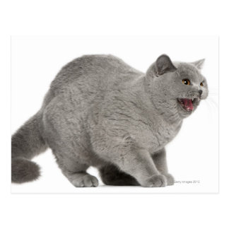 Scared British Shorthair hissing (8 months old) Postcard