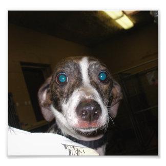 Scared Italian Greyhound at a Local Dog Pound Photo Print