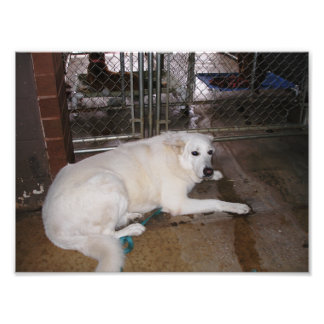 Scared White German Shepherd Mix in Dog Pound Photo Art