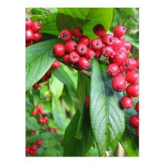 Scarlet Firethorn In Valley Gardens Park Post Card