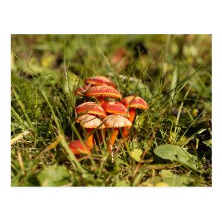 Scarlet hood fungi, Hygrocybe coccinea Postcard