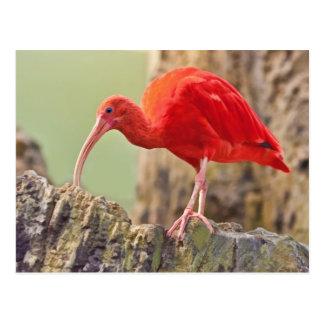 Scarlet Ibis Bird Postcard