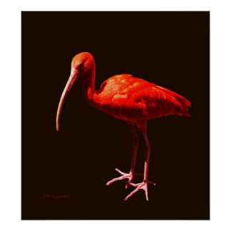 Scarlet Ibis on Black Poster