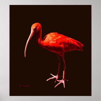 Scarlet Ibis on Black Poster
