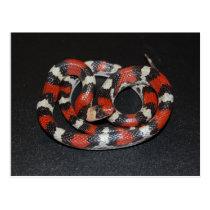 Scarlet King Snake Postcard