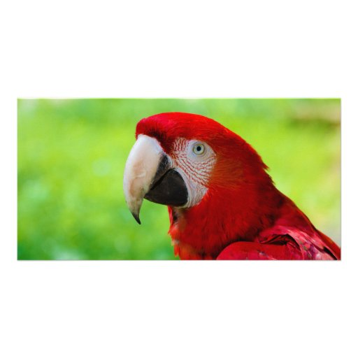 Scarlet Macaw Ara Macao American Parrot Customized Photo Card