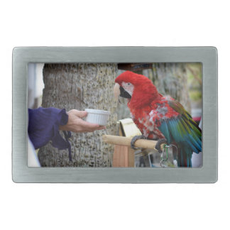 scarlet macaw baby offered dish belt buckle