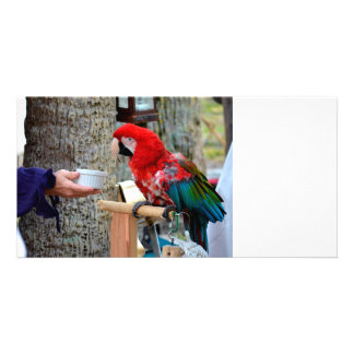 scarlet macaw baby offered dish card