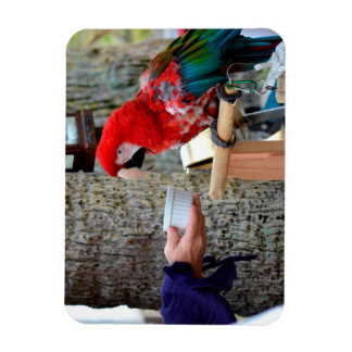 scarlet macaw baby offered dish magnet