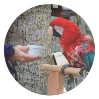 scarlet macaw baby offered dish melamine plate