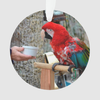 scarlet macaw baby offered dish ornament