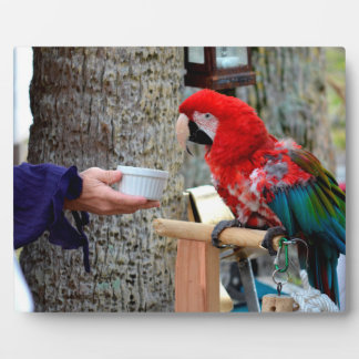 scarlet macaw baby offered dish plaque