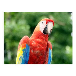 scarlet macaw bird post card
