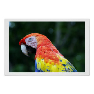 scarlet macaw border poster
