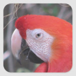 Scarlet Macaw - Close Up Square Sticker