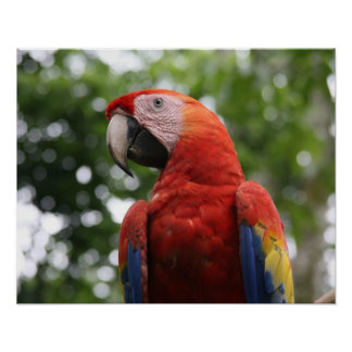 scarlet macaw copan poster