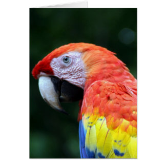 scarlet macaw face card