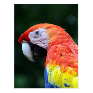 scarlet macaw face postcard
