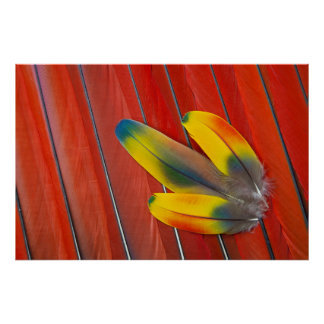 Scarlet Macaw Feather Still Life Poster