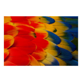 Scarlet Macaw Feathers Poster