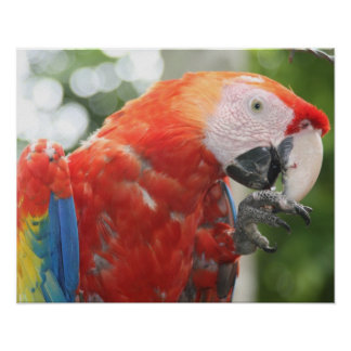 scarlet macaw foot posters