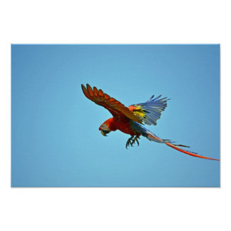 Scarlet Macaw in Flight Poster