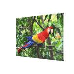 Scarlet macaw on tree limb canvas print