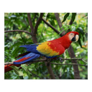 Scarlet macaw on tree limb poster