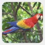 Scarlet macaw on tree limb square sticker