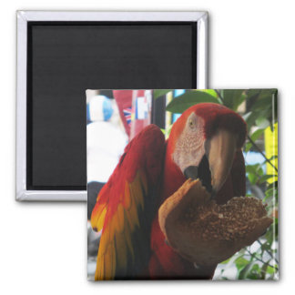 Scarlet Macaw Parrot Eating Toast Magnet