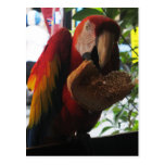 Scarlet Macaw Parrot Eating Toast Post Card