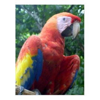 scarlet macaw perch postcard