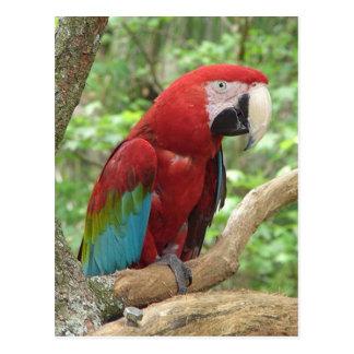 Scarlet Macaw Photo Postcard